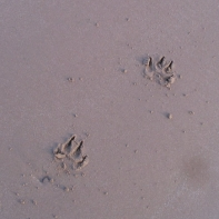 Thats a big dogs foot print