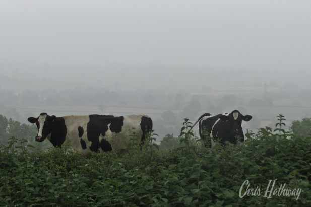 A couple of cows graze on a foggy mid-summers day in South Wales